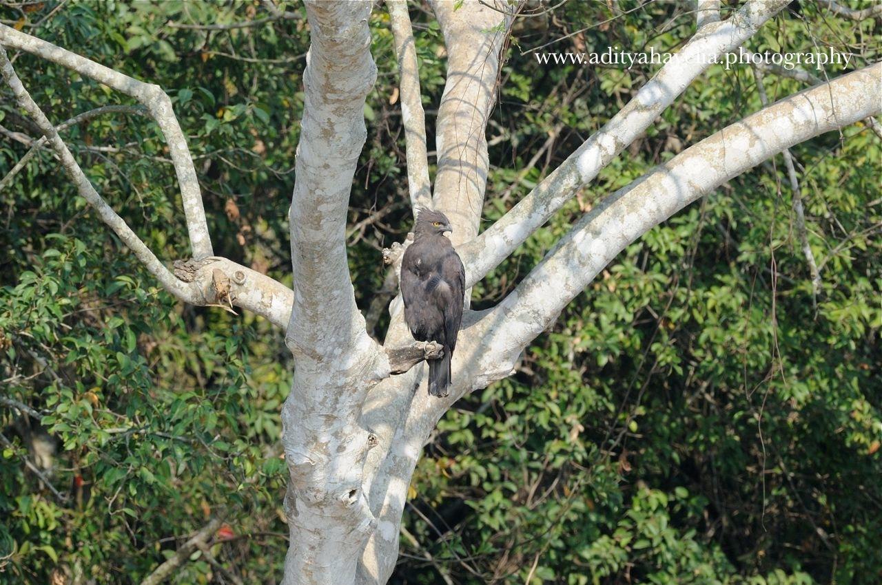 Changeable hawk eagle: dark morph