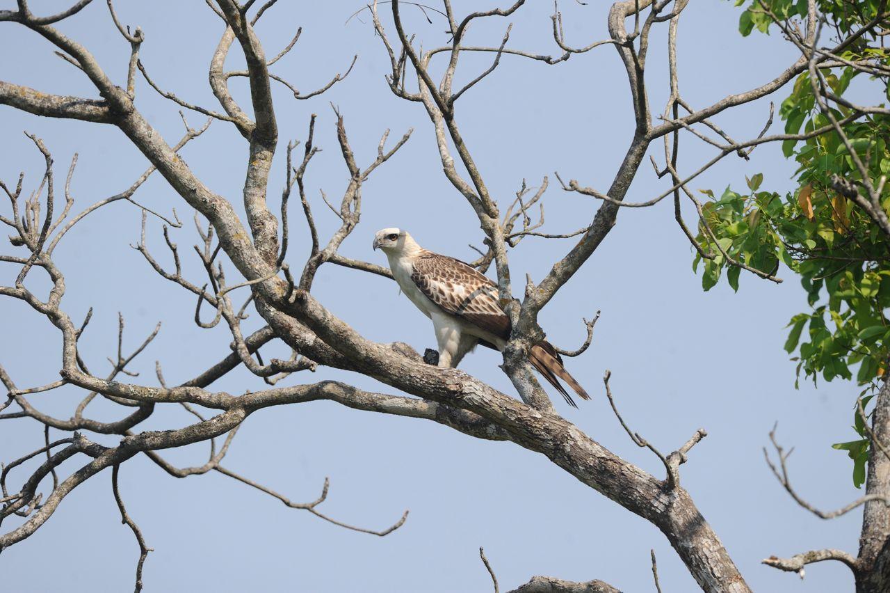 Changeable hawk eagle juvenile