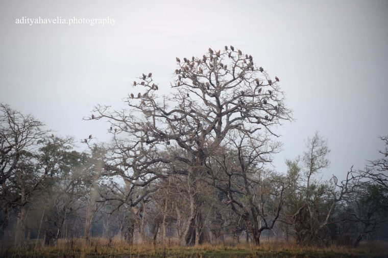 Vultures In Katerniaghat Wildlife Sanctuary